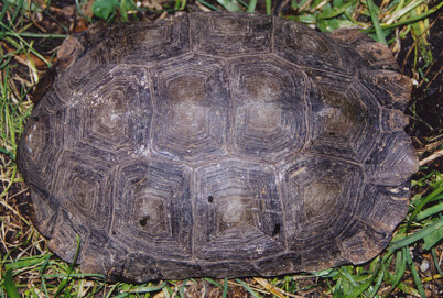 http://www.monkeyfrog.com/tortoises/manouria_adult2.JPG