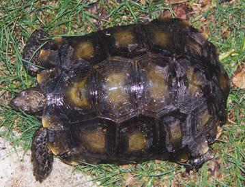 http://www.monkeyfrog.com/tortoises/manouria_adult4.JPG